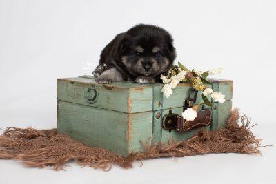 puppy247 week3 BowTiePomsky.com Bowtie Pomsky Puppy For Sale Husky Pomeranian Mini Dog Spokane WA Breeder Blue Eyes Pomskies Celebrity Puppy web4