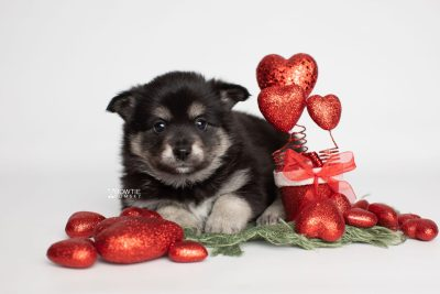 puppy247 week5 BowTiePomsky.com Bowtie Pomsky Puppy For Sale Husky Pomeranian Mini Dog Spokane WA Breeder Blue Eyes Pomskies Celebrity Puppy web5