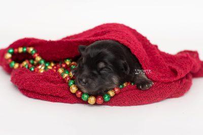 puppy249 week1 BowTiePomsky.com Bowtie Pomsky Puppy For Sale Husky Pomeranian Mini Dog Spokane WA Breeder Blue Eyes Pomskies Celebrity Puppy web2