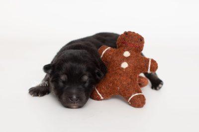 puppy249 week1 BowTiePomsky.com Bowtie Pomsky Puppy For Sale Husky Pomeranian Mini Dog Spokane WA Breeder Blue Eyes Pomskies Celebrity Puppy web3