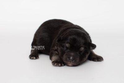 puppy249 week1 BowTiePomsky.com Bowtie Pomsky Puppy For Sale Husky Pomeranian Mini Dog Spokane WA Breeder Blue Eyes Pomskies Celebrity Puppy web5
