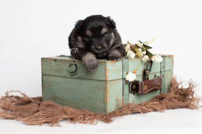puppy249 week3 BowTiePomsky.com Bowtie Pomsky Puppy For Sale Husky Pomeranian Mini Dog Spokane WA Breeder Blue Eyes Pomskies Celebrity Puppy web4