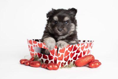puppy249 week5 BowTiePomsky.com Bowtie Pomsky Puppy For Sale Husky Pomeranian Mini Dog Spokane WA Breeder Blue Eyes Pomskies Celebrity Puppy web2