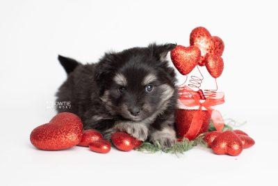 puppy249 week5 BowTiePomsky.com Bowtie Pomsky Puppy For Sale Husky Pomeranian Mini Dog Spokane WA Breeder Blue Eyes Pomskies Celebrity Puppy web3