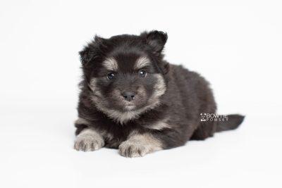puppy249 week5 BowTiePomsky.com Bowtie Pomsky Puppy For Sale Husky Pomeranian Mini Dog Spokane WA Breeder Blue Eyes Pomskies Celebrity Puppy web6