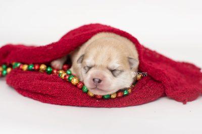 puppy250 week1 BowTiePomsky.com Bowtie Pomsky Puppy For Sale Husky Pomeranian Mini Dog Spokane WA Breeder Blue Eyes Pomskies Celebrity Puppy web2
