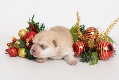 puppy250 week1 BowTiePomsky.com Bowtie Pomsky Puppy For Sale Husky Pomeranian Mini Dog Spokane WA Breeder Blue Eyes Pomskies Celebrity Puppy web4