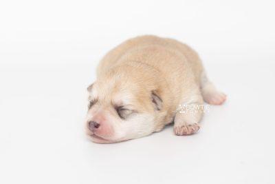 puppy250 week1 BowTiePomsky.com Bowtie Pomsky Puppy For Sale Husky Pomeranian Mini Dog Spokane WA Breeder Blue Eyes Pomskies Celebrity Puppy web5