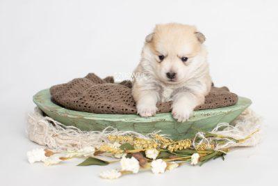puppy250 week3 BowTiePomsky.com Bowtie Pomsky Puppy For Sale Husky Pomeranian Mini Dog Spokane WA Breeder Blue Eyes Pomskies Celebrity Puppy web1