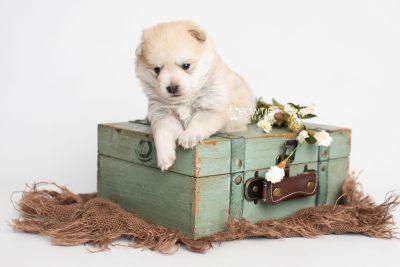 puppy250 week3 BowTiePomsky.com Bowtie Pomsky Puppy For Sale Husky Pomeranian Mini Dog Spokane WA Breeder Blue Eyes Pomskies Celebrity Puppy web4