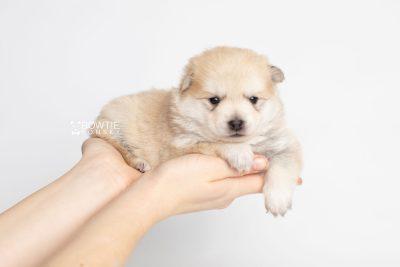 puppy250 week3 BowTiePomsky.com Bowtie Pomsky Puppy For Sale Husky Pomeranian Mini Dog Spokane WA Breeder Blue Eyes Pomskies Celebrity Puppy web7