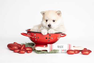 puppy250 week5 BowTiePomsky.com Bowtie Pomsky Puppy For Sale Husky Pomeranian Mini Dog Spokane WA Breeder Blue Eyes Pomskies Celebrity Puppy web1