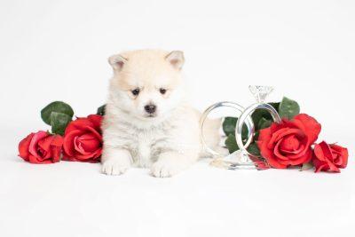 puppy250 week5 BowTiePomsky.com Bowtie Pomsky Puppy For Sale Husky Pomeranian Mini Dog Spokane WA Breeder Blue Eyes Pomskies Celebrity Puppy web6