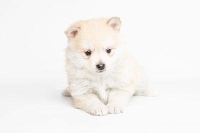 puppy250 week5 BowTiePomsky.com Bowtie Pomsky Puppy For Sale Husky Pomeranian Mini Dog Spokane WA Breeder Blue Eyes Pomskies Celebrity Puppy web7