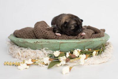 puppy253 week1 BowTiePomsky.com Bowtie Pomsky Puppy For Sale Husky Pomeranian Mini Dog Spokane WA Breeder Blue Eyes Pomskies Celebrity Puppy web2