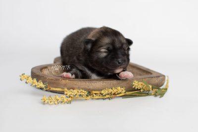 puppy253 week1 BowTiePomsky.com Bowtie Pomsky Puppy For Sale Husky Pomeranian Mini Dog Spokane WA Breeder Blue Eyes Pomskies Celebrity Puppy web3