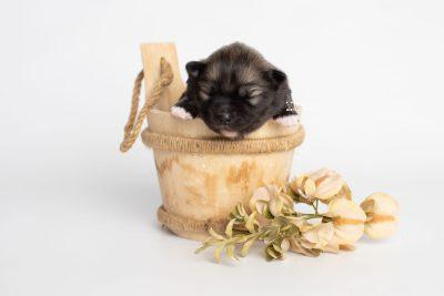 puppy253 week1 BowTiePomsky.com Bowtie Pomsky Puppy For Sale Husky Pomeranian Mini Dog Spokane WA Breeder Blue Eyes Pomskies Celebrity Puppy web5