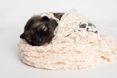 puppy253 week1 BowTiePomsky.com Bowtie Pomsky Puppy For Sale Husky Pomeranian Mini Dog Spokane WA Breeder Blue Eyes Pomskies Celebrity Puppy web6