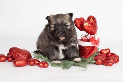 puppy253 week3 BowTiePomsky.com Bowtie Pomsky Puppy For Sale Husky Pomeranian Mini Dog Spokane WA Breeder Blue Eyes Pomskies Celebrity Puppy web3