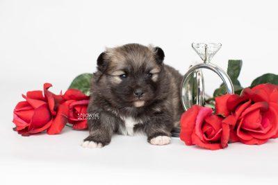 puppy253 week3 BowTiePomsky.com Bowtie Pomsky Puppy For Sale Husky Pomeranian Mini Dog Spokane WA Breeder Blue Eyes Pomskies Celebrity Puppy web5