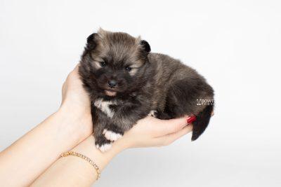 puppy253 week3 BowTiePomsky.com Bowtie Pomsky Puppy For Sale Husky Pomeranian Mini Dog Spokane WA Breeder Blue Eyes Pomskies Celebrity Puppy web7