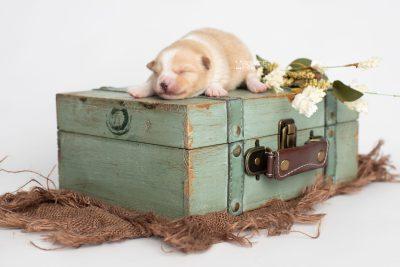 puppy254 week1 BowTiePomsky.com Bowtie Pomsky Puppy For Sale Husky Pomeranian Mini Dog Spokane WA Breeder Blue Eyes Pomskies Celebrity Puppy web1