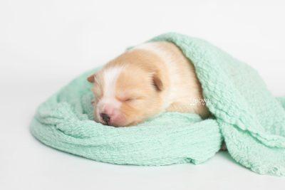 puppy254 week1 BowTiePomsky.com Bowtie Pomsky Puppy For Sale Husky Pomeranian Mini Dog Spokane WA Breeder Blue Eyes Pomskies Celebrity Puppy web6