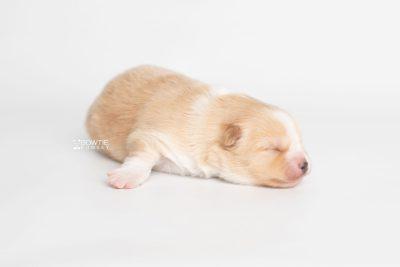 puppy254 week1 BowTiePomsky.com Bowtie Pomsky Puppy For Sale Husky Pomeranian Mini Dog Spokane WA Breeder Blue Eyes Pomskies Celebrity Puppy web7