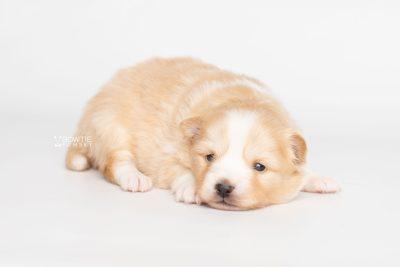 puppy254 week3 BowTiePomsky.com Bowtie Pomsky Puppy For Sale Husky Pomeranian Mini Dog Spokane WA Breeder Blue Eyes Pomskies Celebrity Puppy web6