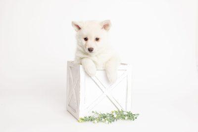 puppy244 week7 BowTiePomsky.com Bowtie Pomsky Puppy For Sale Husky Pomeranian Mini Dog Spokane WA Breeder Blue Eyes Pomskies Celebrity Puppy web3