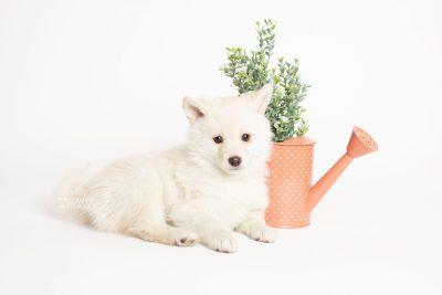 puppy244 week7 BowTiePomsky.com Bowtie Pomsky Puppy For Sale Husky Pomeranian Mini Dog Spokane WA Breeder Blue Eyes Pomskies Celebrity Puppy web5