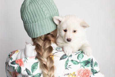 puppy244 week7 BowTiePomsky.com Bowtie Pomsky Puppy For Sale Husky Pomeranian Mini Dog Spokane WA Breeder Blue Eyes Pomskies Celebrity Puppy web7
