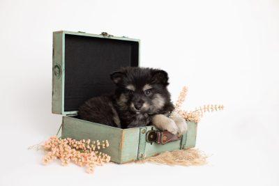 puppy245 week7 BowTiePomsky.com Bowtie Pomsky Puppy For Sale Husky Pomeranian Mini Dog Spokane WA Breeder Blue Eyes Pomskies Celebrity Puppy web1