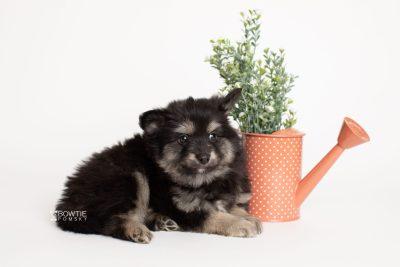 puppy245 week7 BowTiePomsky.com Bowtie Pomsky Puppy For Sale Husky Pomeranian Mini Dog Spokane WA Breeder Blue Eyes Pomskies Celebrity Puppy web5