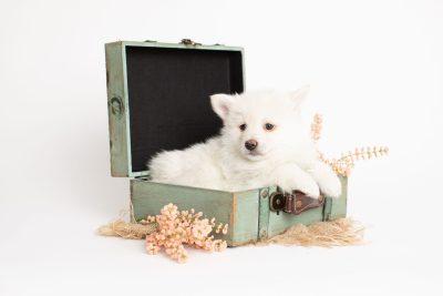 puppy246 week7 BowTiePomsky.com Bowtie Pomsky Puppy For Sale Husky Pomeranian Mini Dog Spokane WA Breeder Blue Eyes Pomskies Celebrity Puppy web1