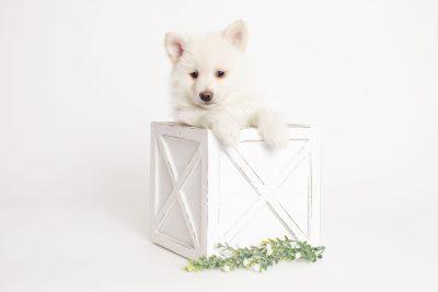 puppy246 week7 BowTiePomsky.com Bowtie Pomsky Puppy For Sale Husky Pomeranian Mini Dog Spokane WA Breeder Blue Eyes Pomskies Celebrity Puppy web3