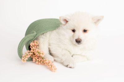 puppy246 week7 BowTiePomsky.com Bowtie Pomsky Puppy For Sale Husky Pomeranian Mini Dog Spokane WA Breeder Blue Eyes Pomskies Celebrity Puppy web4