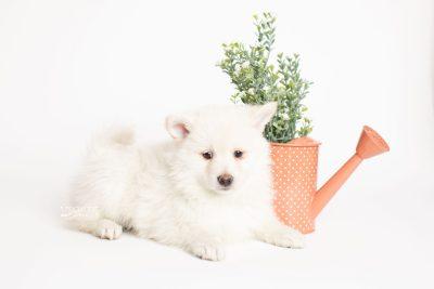 puppy246 week7 BowTiePomsky.com Bowtie Pomsky Puppy For Sale Husky Pomeranian Mini Dog Spokane WA Breeder Blue Eyes Pomskies Celebrity Puppy web5