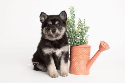 puppy247 week7 BowTiePomsky.com Bowtie Pomsky Puppy For Sale Husky Pomeranian Mini Dog Spokane WA Breeder Blue Eyes Pomskies Celebrity Puppy web5