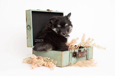puppy249 week7 BowTiePomsky.com Bowtie Pomsky Puppy For Sale Husky Pomeranian Mini Dog Spokane WA Breeder Blue Eyes Pomskies Celebrity Puppy web1