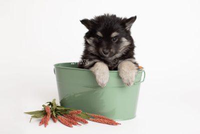 puppy249 week7 BowTiePomsky.com Bowtie Pomsky Puppy For Sale Husky Pomeranian Mini Dog Spokane WA Breeder Blue Eyes Pomskies Celebrity Puppy web2
