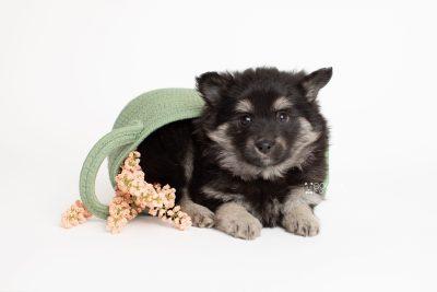 puppy249 week7 BowTiePomsky.com Bowtie Pomsky Puppy For Sale Husky Pomeranian Mini Dog Spokane WA Breeder Blue Eyes Pomskies Celebrity Puppy web4