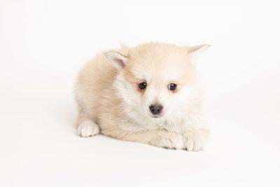 puppy250 week7 BowTiePomsky.com Bowtie Pomsky Puppy For Sale Husky Pomeranian Mini Dog Spokane WA Breeder Blue Eyes Pomskies Celebrity Puppy web6