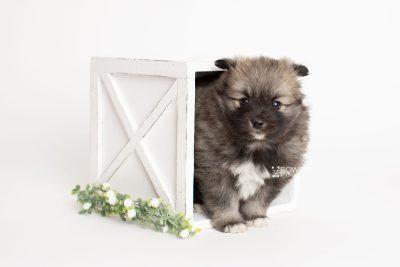 puppy253 week5 BowTiePomsky.com Bowtie Pomsky Puppy For Sale Husky Pomeranian Mini Dog Spokane WA Breeder Blue Eyes Pomskies Celebrity Puppy web1