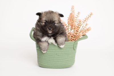 puppy253 week5 BowTiePomsky.com Bowtie Pomsky Puppy For Sale Husky Pomeranian Mini Dog Spokane WA Breeder Blue Eyes Pomskies Celebrity Puppy web2