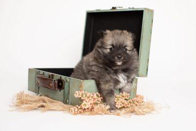 puppy253 week5 BowTiePomsky.com Bowtie Pomsky Puppy For Sale Husky Pomeranian Mini Dog Spokane WA Breeder Blue Eyes Pomskies Celebrity Puppy web4