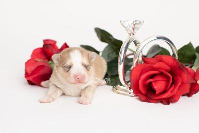 puppy257 week1 BowTiePomsky.com Bowtie Pomsky Puppy For Sale Husky Pomeranian Mini Dog Spokane WA Breeder Blue Eyes Pomskies Celebrity Puppy web5