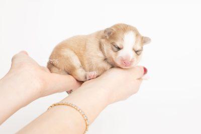 puppy257 week1 BowTiePomsky.com Bowtie Pomsky Puppy For Sale Husky Pomeranian Mini Dog Spokane WA Breeder Blue Eyes Pomskies Celebrity Puppy web7