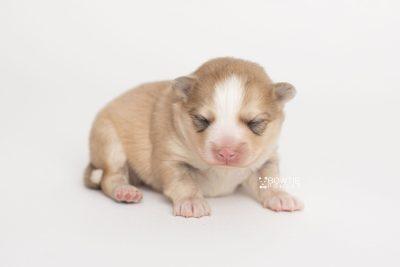 puppy257 week1 BowTiePomsky.com Bowtie Pomsky Puppy For Sale Husky Pomeranian Mini Dog Spokane WA Breeder Blue Eyes Pomskies Celebrity Puppy web8