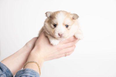 puppy257 week3 BowTiePomsky.com Bowtie Pomsky Puppy For Sale Husky Pomeranian Mini Dog Spokane WA Breeder Blue Eyes Pomskies Celebrity Puppy web8